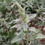 Amaranthus_retroflexus_020207_1