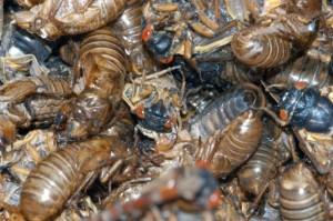 cicadapocolypse-537x357-1