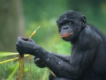 Chimpanzees Self-Medicate With Food
