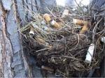 cigarette birds nests